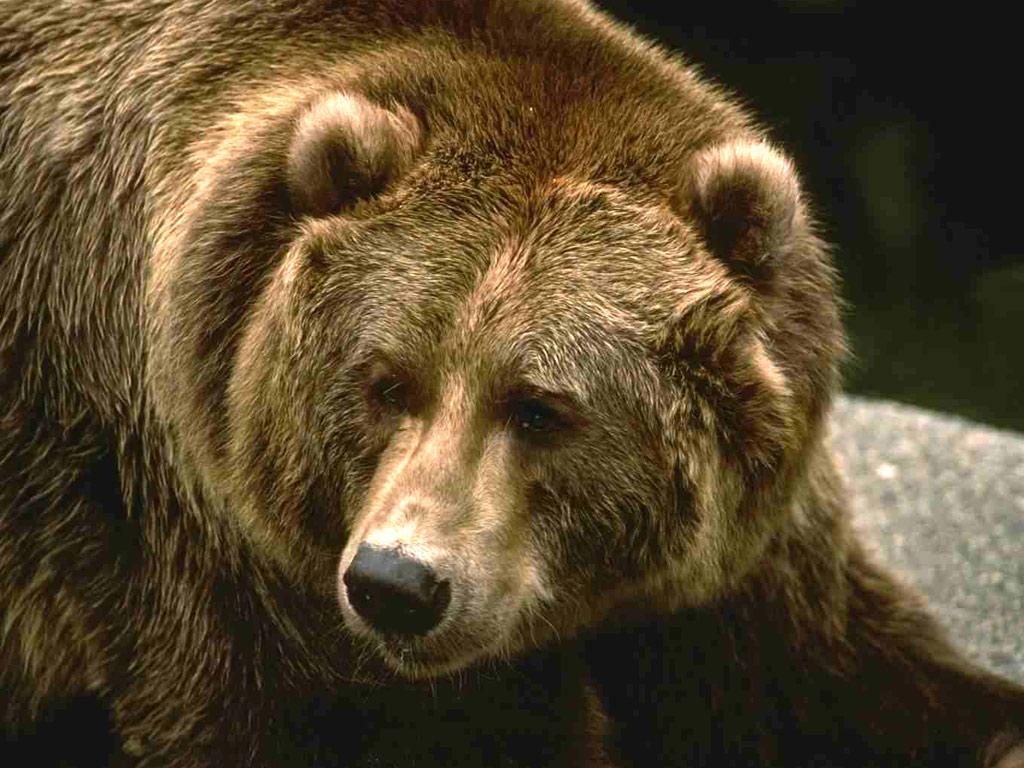 медведи картинка для детей